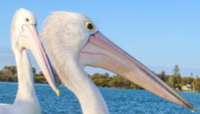 Pelicans on the lake at Swansea, NSW